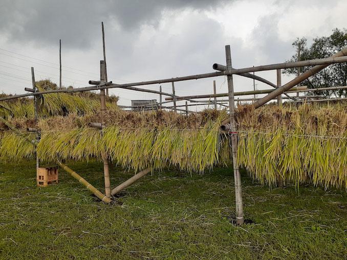 束ねた稲は「はざ」に引っ掛けて天日干しに。それにしても天気が悪い。