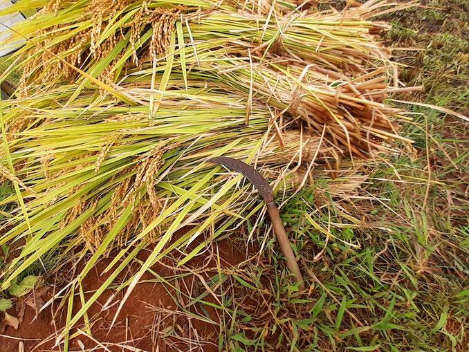 稲とのこぎり鎌。刈り取った稲は両手でつかめるくらいの量にまとめて束ねる。