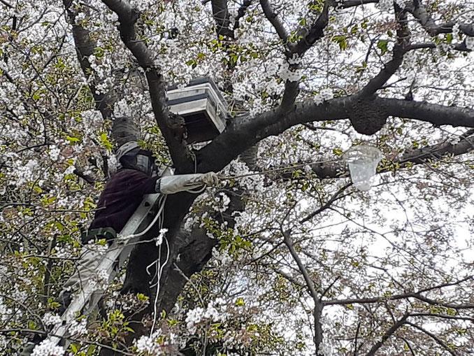 差し出された網の上、枝についたコブのような物がミツバチの群(蜂球)。