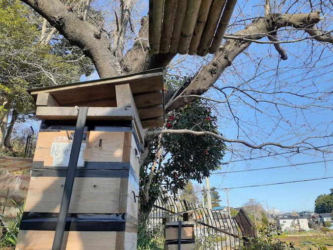 飼育箱の上の枝には、分蜂群が一時滞在するための板が設けられている。