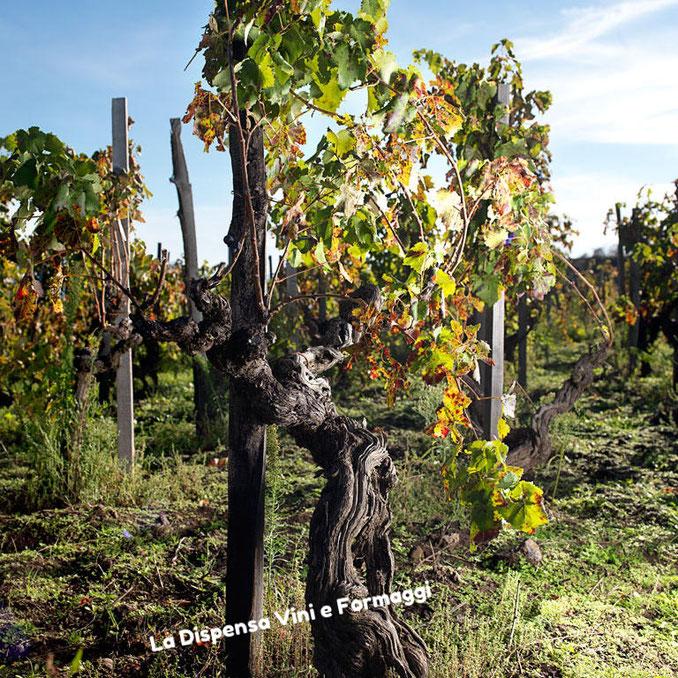 Le vigne ad alberello di oltre un secolo di età.