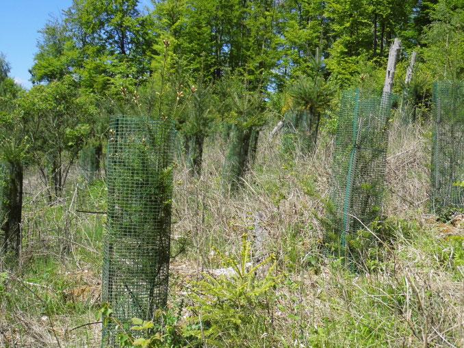 """Neu gepflanzte Douglasien im Natura 2000-Lebensraum """"Orchideen-Buchenwald"""" - Aufnahme aus 2019                                 (Foto: N. Panek)."""