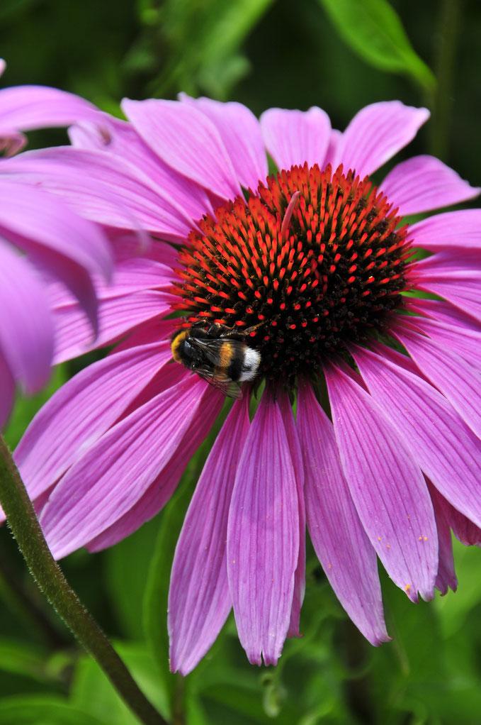 Nahaufnahme einer Biene auf der Blume