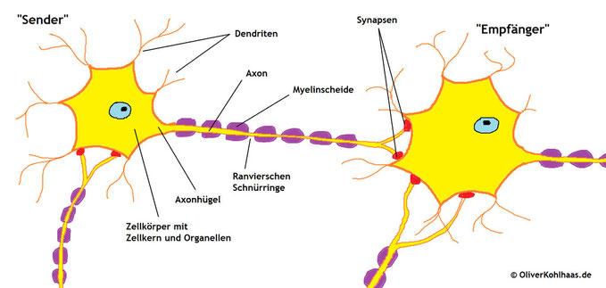 Abb. 1: Aufbau Nervenzelle im Querschnitt
