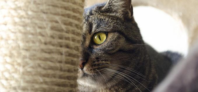 Katze guckt Kratzsäule an