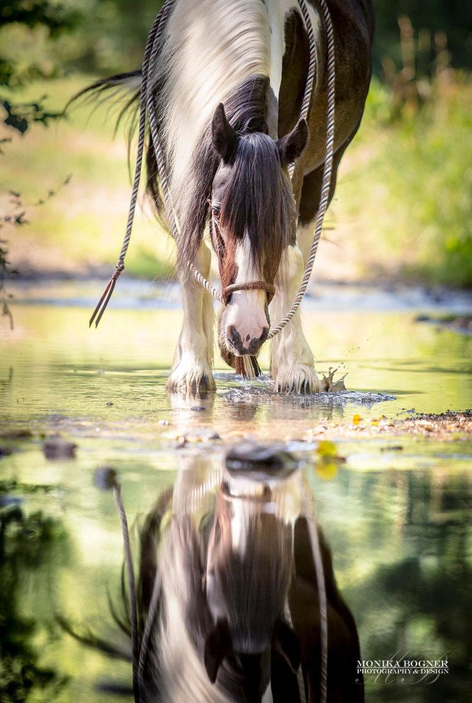 Tinker im Wasser als Spiegelbild, Pferdefotografie