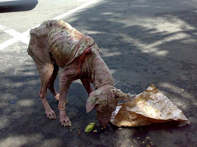 Unbehandelter Strassenhund mit hochgradiger Räude - er muß schrecklicher Qualen durchlitten haben