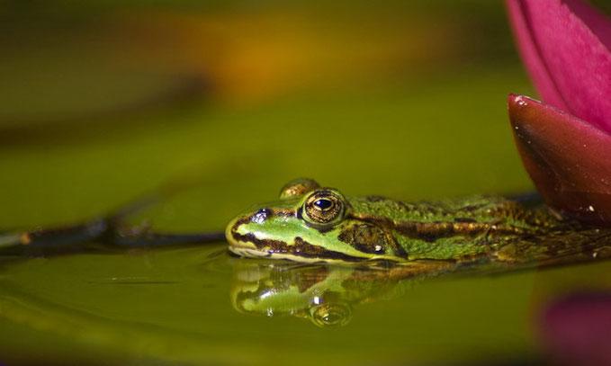 Groene kikker met reflectie in het water. Kleine scherptediepte