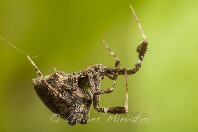 Uloborus plumipes. Uloboridae © Olivier Miniato