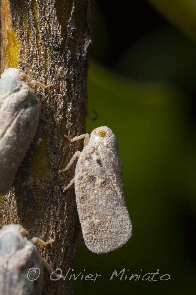 Metcalfa pruinosa. Flatidae © Olivier Miniato