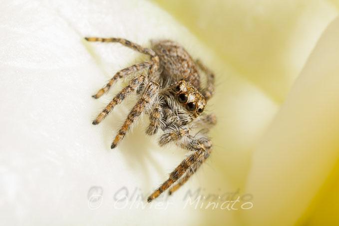 Philaeus chrysops. Salticidae © Olivier Miniato