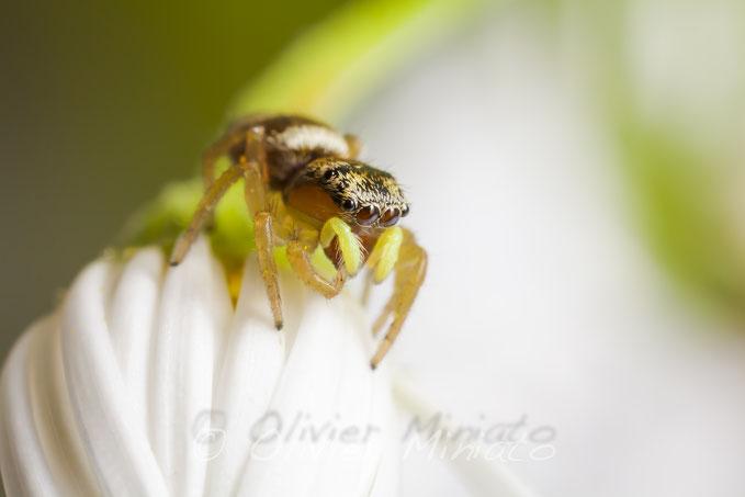 Heliophanus tribulosus. Salticidae © Olivier Miniato