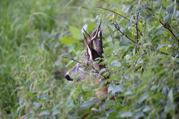 Bild: Sichernder Rehbock - erst die bestandene Jägdprüfung berechtigt uns zur Jagdausübung.