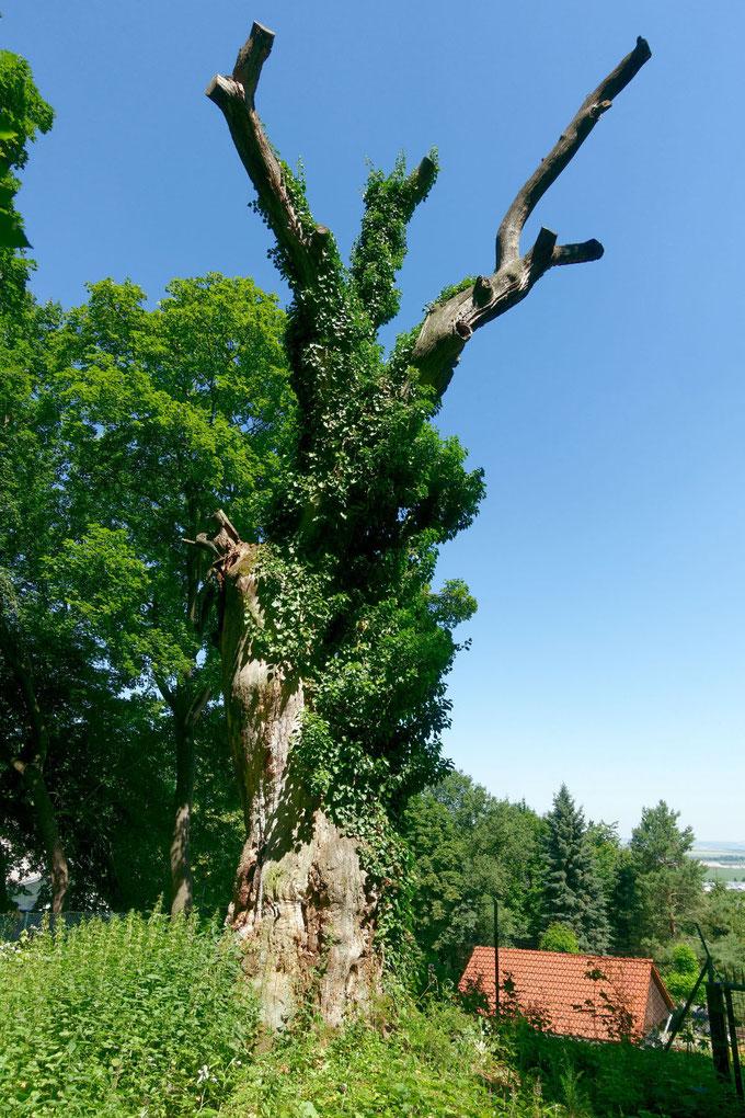 Eiche an der Mönchskappel in Oldisleben