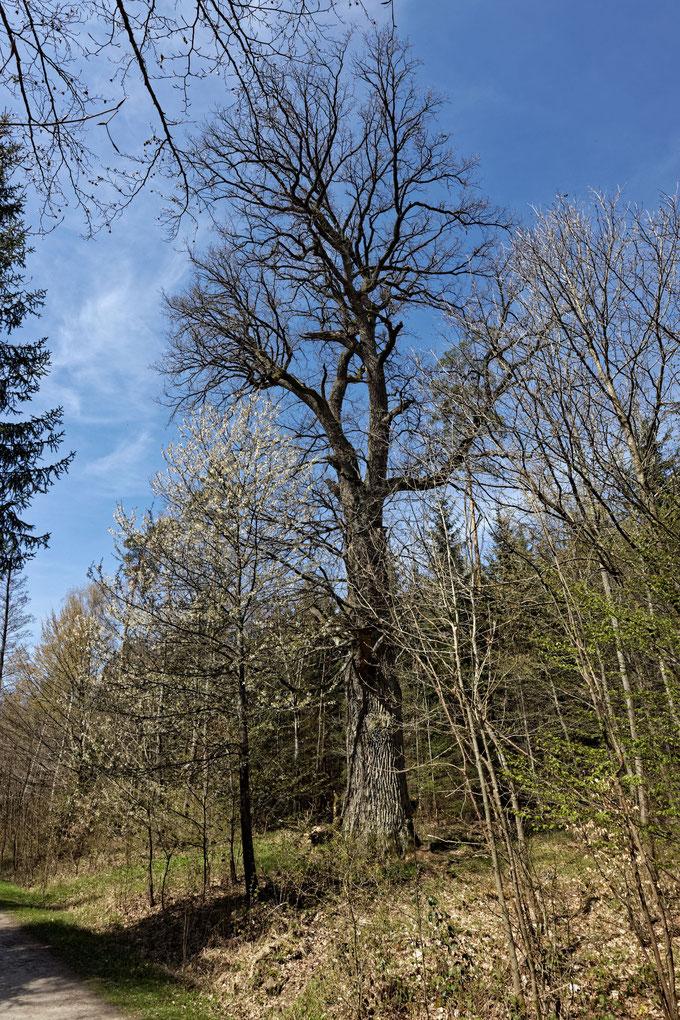 Schwarztor-Eiche im Rotwildpark Stuttgart