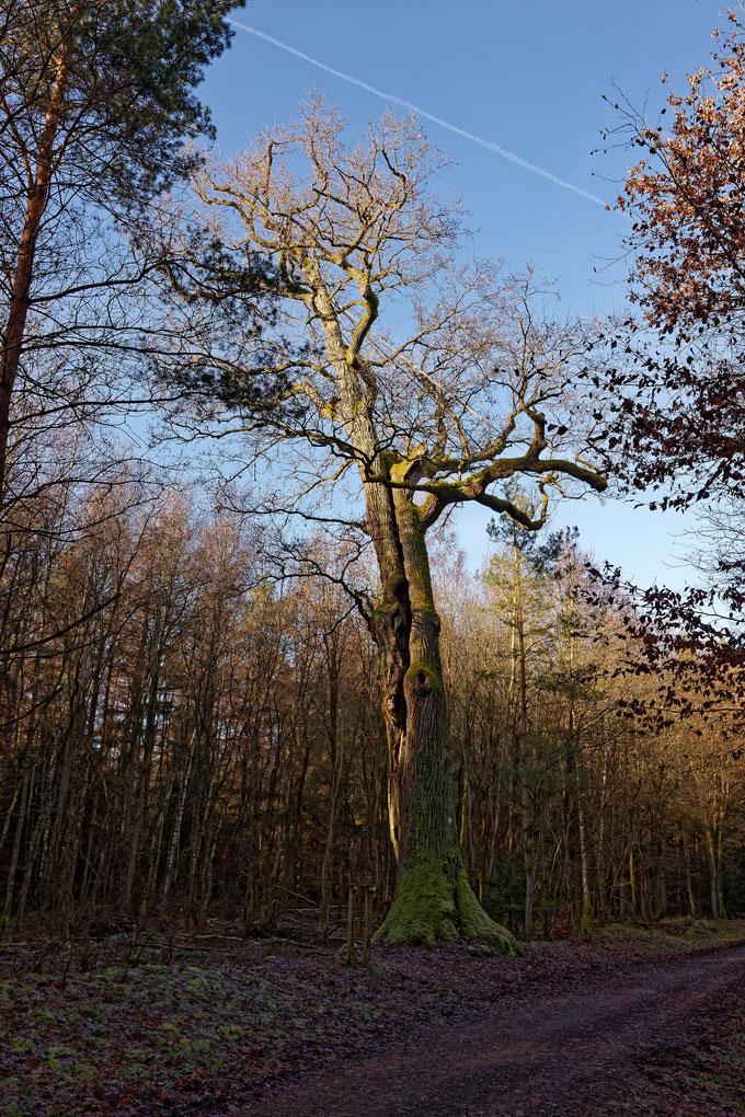 Drusus-Eiche bei Langen-Bergheim