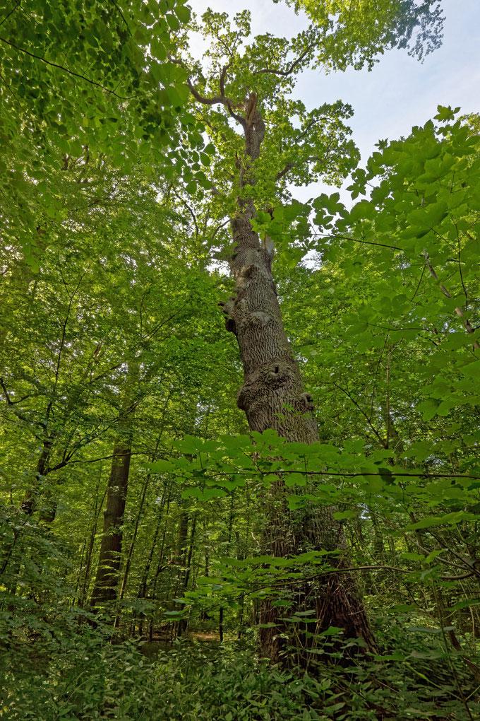 Franz-Ferdinand-Eiche im Saupark Springe