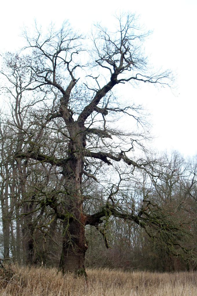 Zweite Eiche der Eichengruppe im Severtin bei Wörlitz