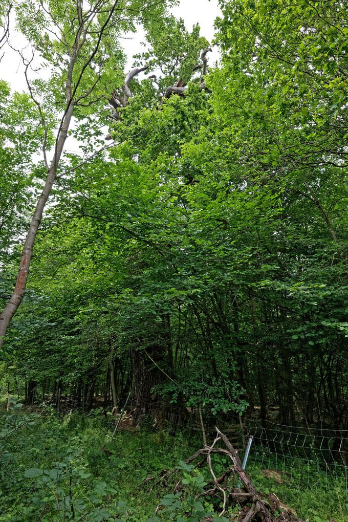 Tausendjährige Eiche bei Lietzo