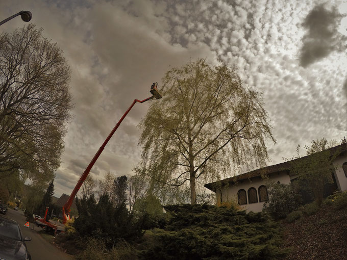 Baumpflege in Köln mit Hilfe einer Hebebühne