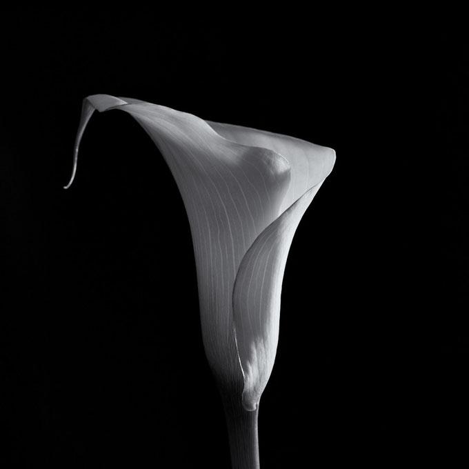 Calla #1 (Copyright Martin Schmidt)