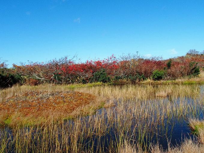 池塘とその周囲は草紅葉です。                                        池塘の水面に真っ赤なナナカマドが写っているが・・・写真にうまく撮れません。