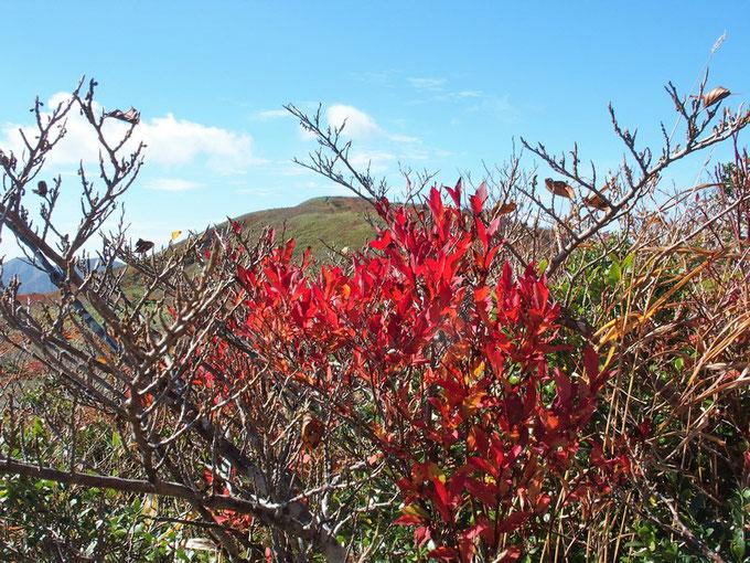 真っ赤に色づいた小さな木が、この紅葉の景色の中でひときわ目立っていた。