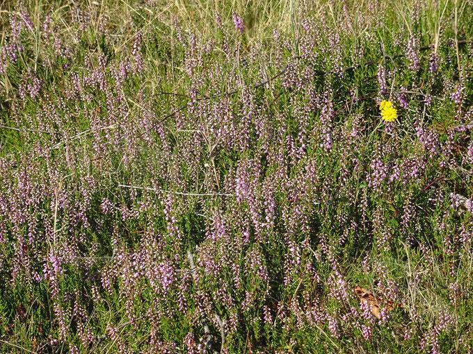 Partielle Heideblüte auf der Fläche, Foto; NABU Sulingen/Udo Sakuth