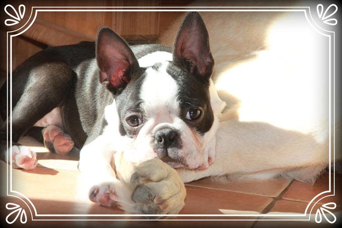 Boston Terrier-Welpen vom Züchter, Rheinland-Pfalz/Boston Terrier Welpen der kleinen Gewichtsklasse bei Luxemburg/Belgien/Deutschland