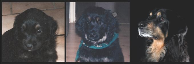 Shadow hat sein erstes Auge geöffnet / Er zieht ein mit 12 Wochen / Mit 11 Jahren noch ein stolzer Hovawart