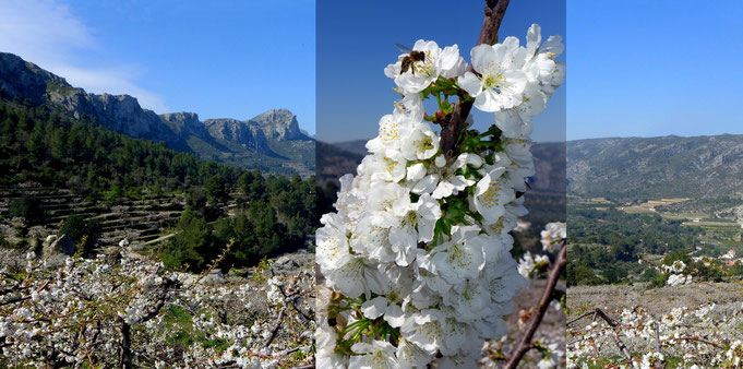 Vall de Gallinera - Kirschblüte im März