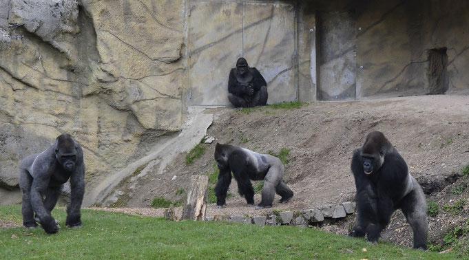 WAZUNGU, AWEMBE, KISUMU und MAWINGO / Zoo Schmiding (Österreich) / © Heike Arranz Rodriguez