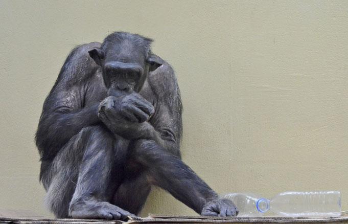 Schimpanse im Heidelberger Zoo / © Heike Arranz Rodriguez