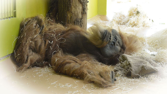 """Orang Utan BRUNO † - Münchner Tierpark """"Hellabrunn"""" / © Photo: Heike Arranz Rodriguez"""