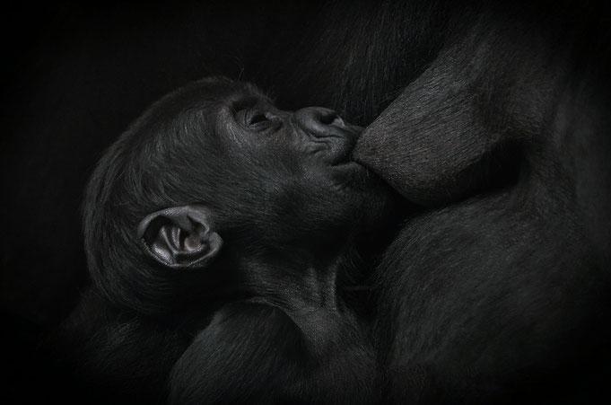 Gorillababy in der Stuttgarter Wilhelma / Photo: © Heike Arranz Rodriguez