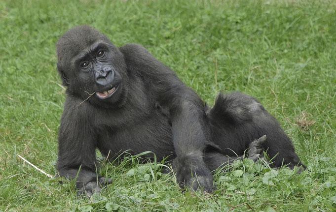 KWAME ist inzwischen Vater geworden im Rostocker Zoo/ Foto: Heike Arranz Rodriguez