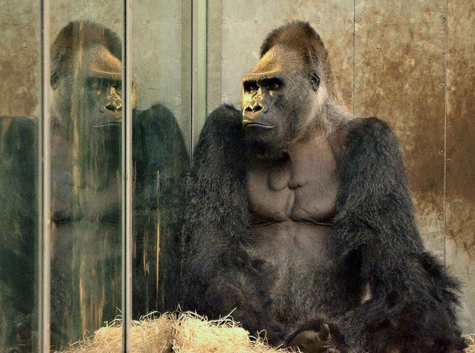 """Gorilla ROUTUTU - Tierpark München """"Hellabrunn"""" / © Heike Arranz Rodriguez"""