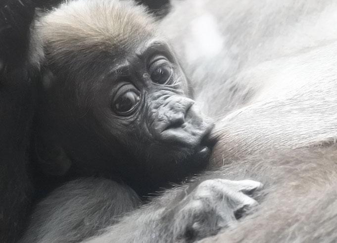Gorillababy im Frankfurter Zoo / Photo: © Heike Arranz Rodriguez