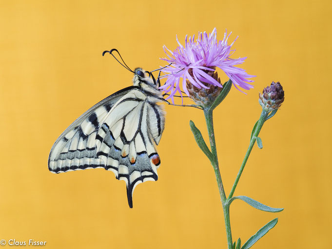 Schwalbenschwanz-Schmetterling (Papilio machaon) frisch geschlüpft- 3. Generation d. Jahres