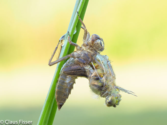 Metamorphose einer Vierflecklibelle