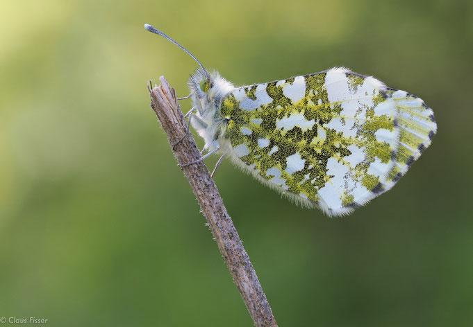 Aurorafalter,  Anthocharis cardamines