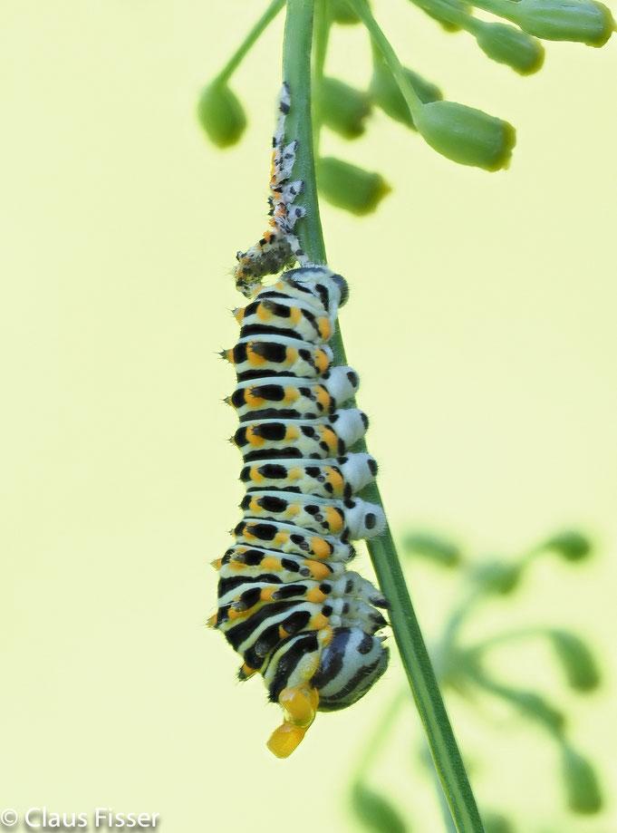 #Raupe Schwalbenschwanz-Schmetterling