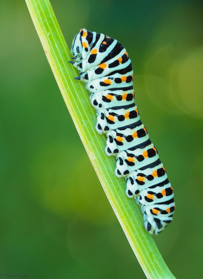 Raupe vom Schwalbenschwanz-Schmetterling