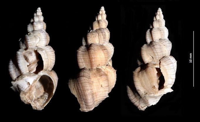 Narona varicosa, Vignola (MO)