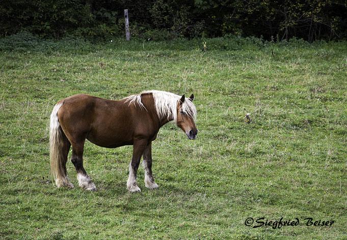 Comtois Pferd aus dem französischen Jura. Siegfried Beiser Photography.