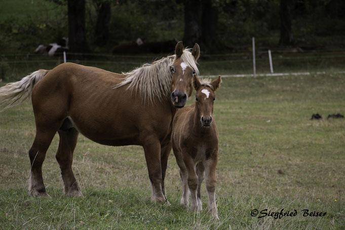 Comtois Pferde. Stute mit Fohlen. Typisch für das französische Jura. Siegfried Beiser Photography.