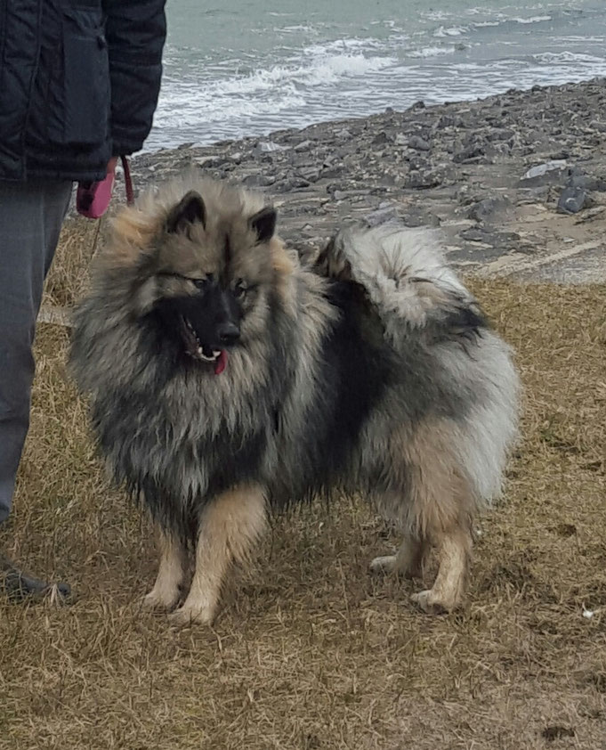 Wolfsspitz Hündin INARA von der Römerroute Keeshond Loup