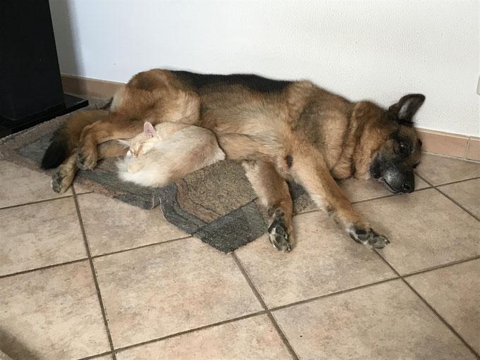 Mein Schäferhundrüde Finn und mein Maine-Coon-Kater Matti
