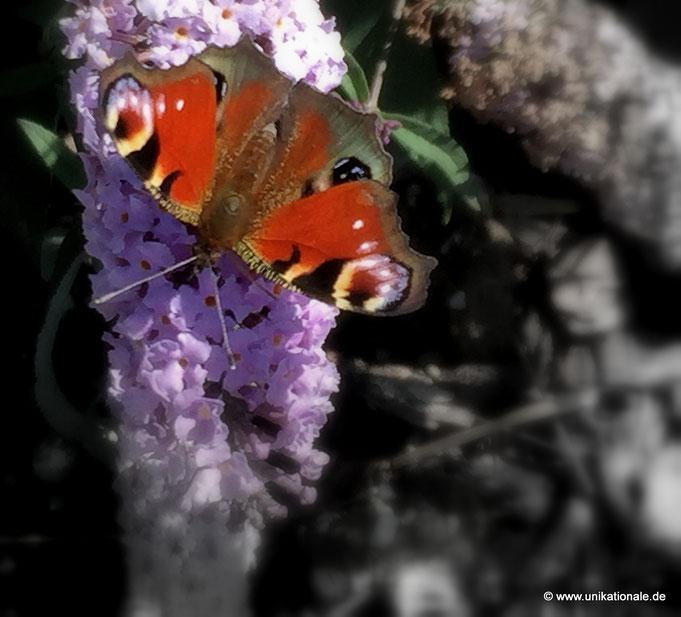 Schmetterling auf Flieder