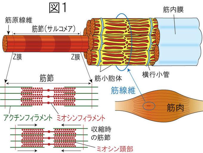 筋肉 筋線維 筋原線維 筋節(サルコメア) 筋小胞体 アクチン ミオシン 横行小管